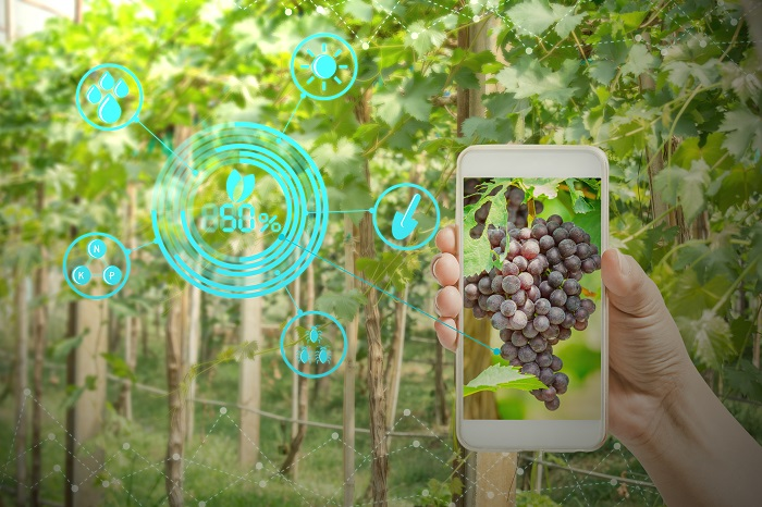 hand holding mobile phone inspecting grapes in agriculture garden with concept modern technologies